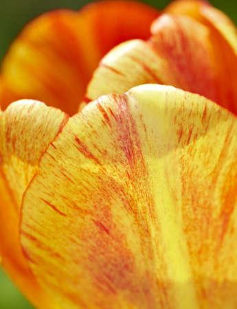 A telephoto of a beautiful tulip in springtime photo