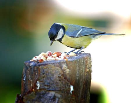 A telephoto of the Blue Tit photo