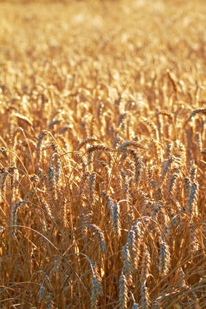 A photo wheat before harvest - good background Stock Photo - 9541137