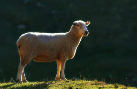 A photo of a lonely sheep - New Zealand photo