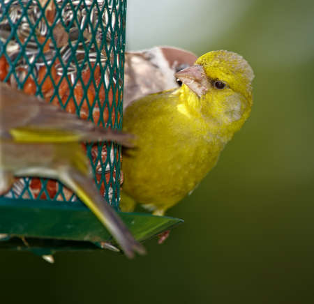 greenfinch: A  telephoto of Carduelis chloris - Greenfinch.