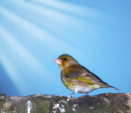 greenfinch: Carduelis chloris - Greenfinch.