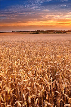 A photo of Sunset at the countryside, denmark - time for harvest photo