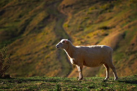 agri: A photo of Sheep -  New Zealand