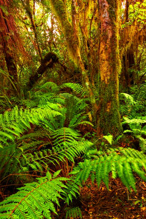 A photo a Rainforest  in New Zealand Stock Photo - 10253342