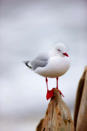 wingspread: A photo of A beautiful seagull sitting and relaxing