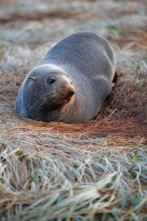 lions rock: A photo of a wild seal in New Zealand (North Island)
