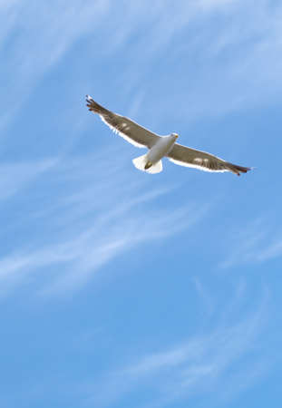 sea gull: A photo of a flying seagull and blue sky
