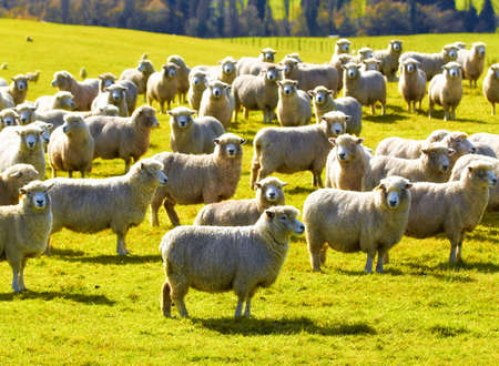 flock: A photo of a herd of sheep in New Zealand