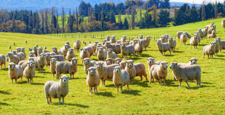 A photo of a herd of sheep in New Zealand photo