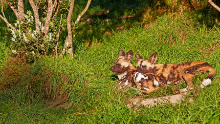 adapted: A photo of The African wild dog