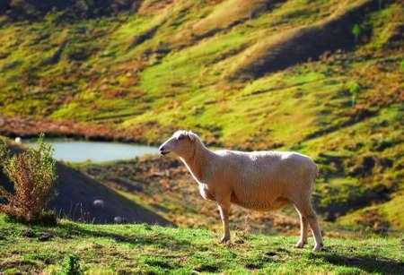 grazing land: A photo of Sheep -  New Zealand