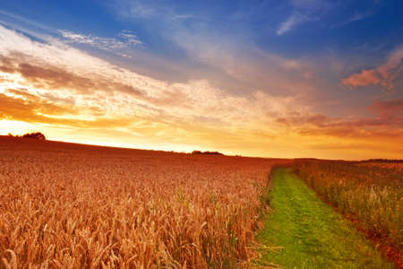 cornfield: A photo of a field of wheat at sunset