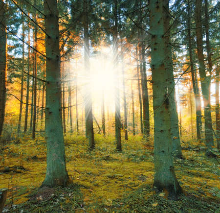 A photo of a pine forest in sunset photo