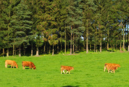 A landscape photo of red cows and farmland photo