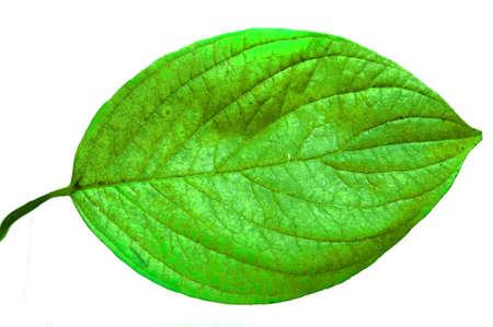 Ein anschauliches Bild von einem Blatt auf weißem Hintergrund