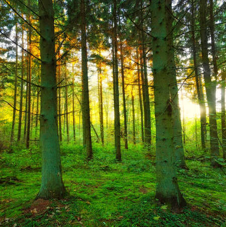 A photo of a pine forest in sunset