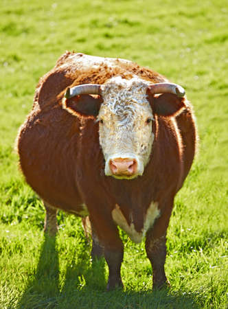 A photo of a Red cow in New Zealand photo