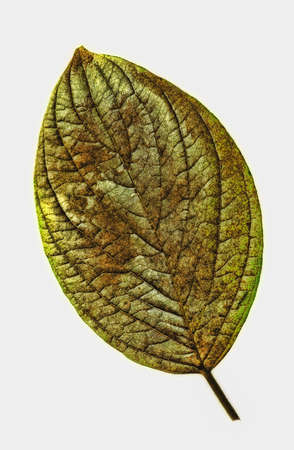 An illustrative image of a leaf on white background Stock Photo - 11699556