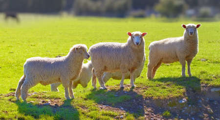A photo of sheep in New Zealand photo