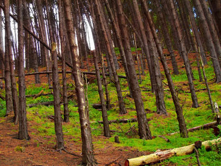 A photo of a Pine forest at mountain side photo