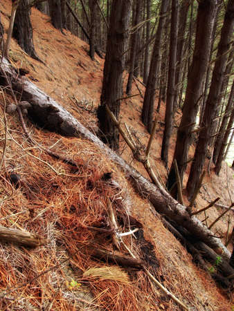 A photo of a Pine forest at mountain side, New Zealand photo