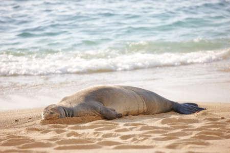 sprawled: A photo of a Monk seal at Waikiki Beach