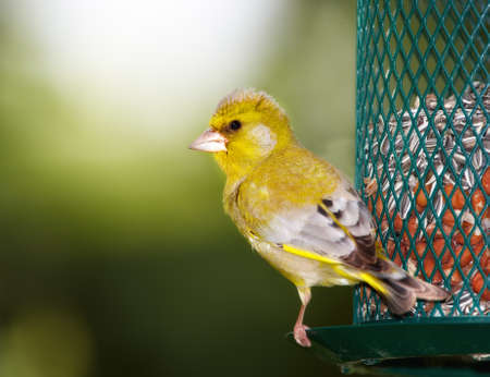 A telephoto of a Carduelis chloris - Greenfinch.  photo