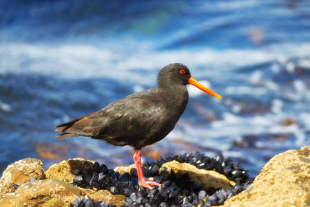 variable: A photo of Variable Oystercatcher bird