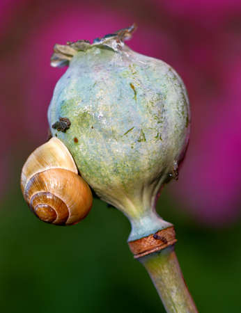 opium poppy: A photo of a snail on an opium plant