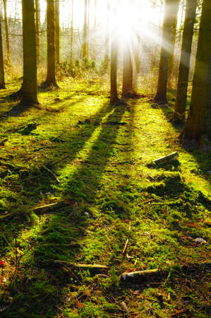 Sunrise in pine forest late autumn Stock Photo - 12564775