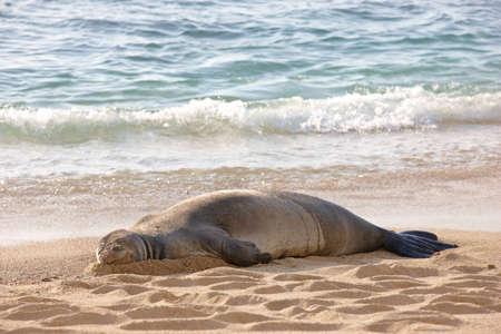 sprawled: Una foto de una foca monje en la playa de Waikiki Foto de archivo