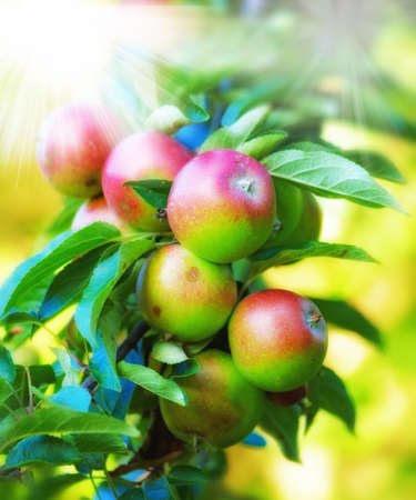 breen: a photo of Healty red, yellow and green apples Stock Photo