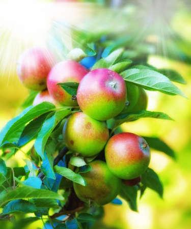 breen: una foto di mele rosse, gialle e verdi Healty Archivio Fotografico