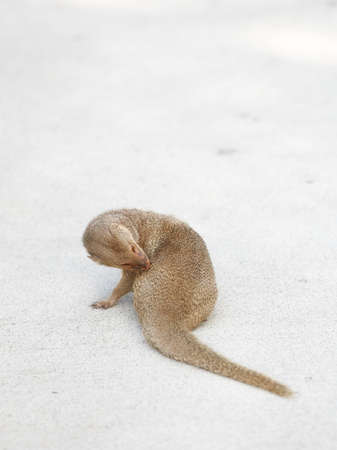 adapted: A photo of Hawaiian mongoose on a parking lot