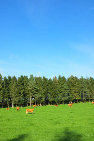 dairy farm: A landscape photo of red cows and farmland Stock Photo