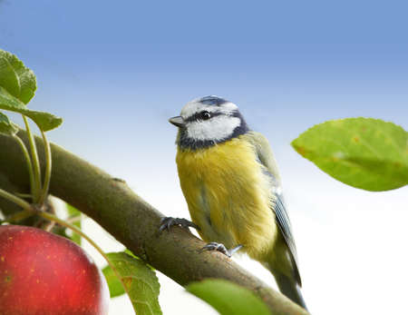 A telephoto of a Blue Tit Stock Photo - 12565097