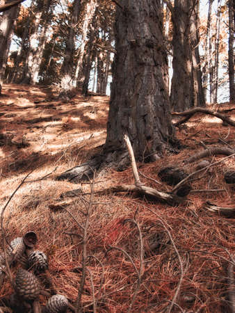 a serene life: A photo of a Pine forest at mountain side