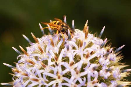 A macro photo of an imitation bee on a flower photo