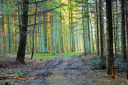 Photo of the Sun in the pine forest Stock Photo - 13923497