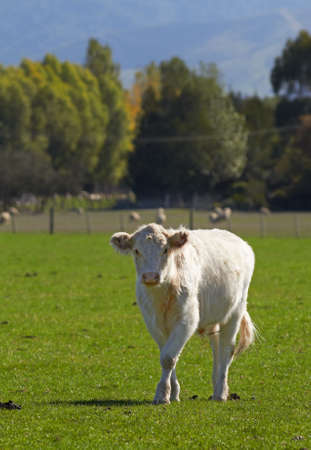 A photo of a young white cow photo