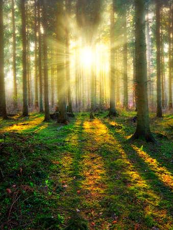 pino: Una foto de la puesta del sol en el bosque de pino Foto de archivo