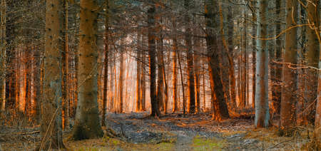 A photo of Sunset in pine forest Stock Photo - 14637582