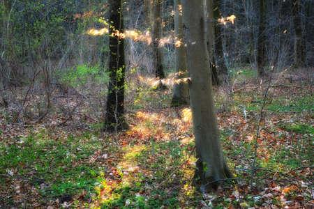 arboles frondosos: Foto del Sol en el bosque de pinos Foto de archivo