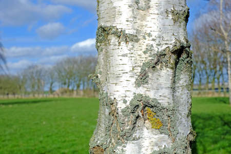 A photo of a Birch tree Stock Photo - 14637786