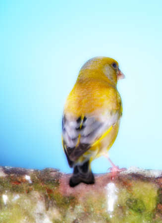 greenfinch: Telephoto of Carduelis chloris - Greenfinch.