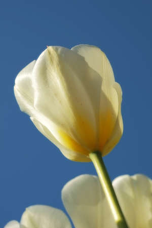 A photo of white tulips photo