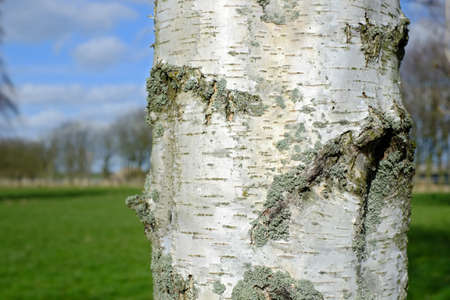 A photo of a Birch tree photo
