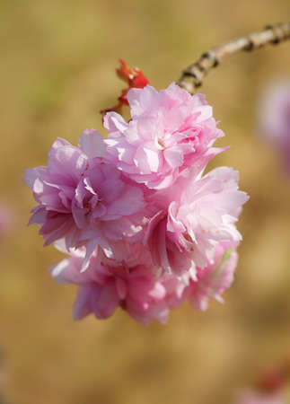 A photo of Japanese cherry blossom in spring photo