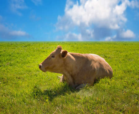 A photo of a red cow resting in summertime on a green field photo